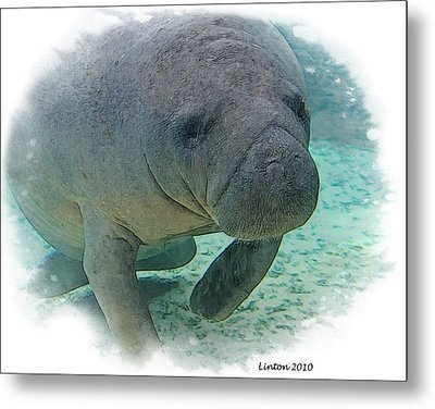 West Indian Manatee Metal Print by Larry Linton