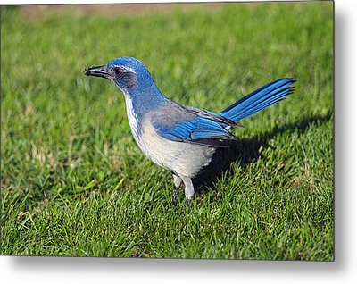 Western Scrub Jay With Beetle Metal Print by Sharon Talson
