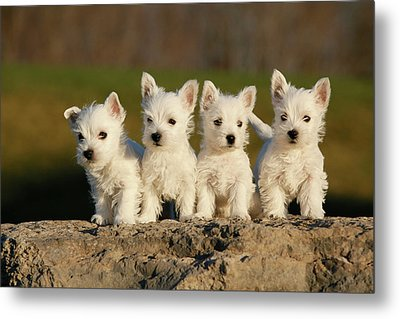 Westies On The Rock Metal Print by Celso Mollo Photography