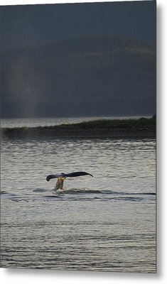 Whale In Alaskan Waters Metal Print by Don Wolf