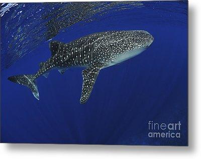 Whale Shark Near Surface With Sun Rays Metal Print by Mathieu Meur