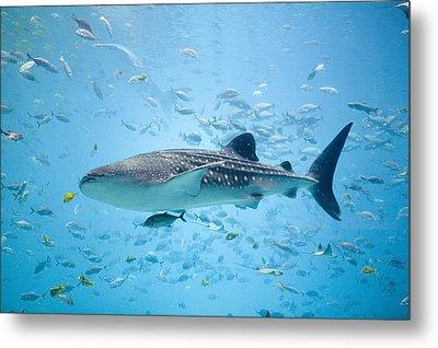 Whale Shark Swimming In Aquarium Metal Print by Stephen Marks