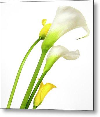 White Arums In Studio. Flowers. Metal Print by Bernard Jaubert