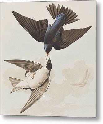 White-bellied Swallow Metal Print by John James Audubon