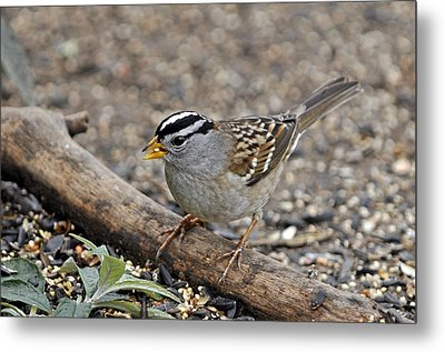 White Crowned Sparrow With Seeds Metal Print by Laura Mountainspring