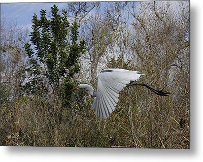 White Heron In Flight Metal Print by Diana Haronis