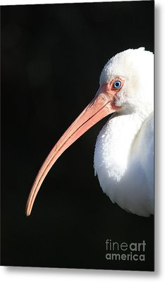 White Ibis Profile Metal Print by Carol Groenen