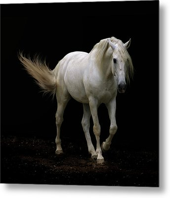 White Lusitano Horse Walking Metal Print by Christiana Stawski