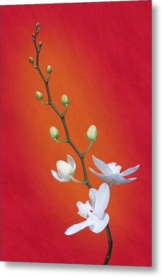 White Orchid Buds On Red Metal Print by Tom Mc Nemar