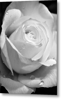 White Rose Metal Print by Brian Roscorla