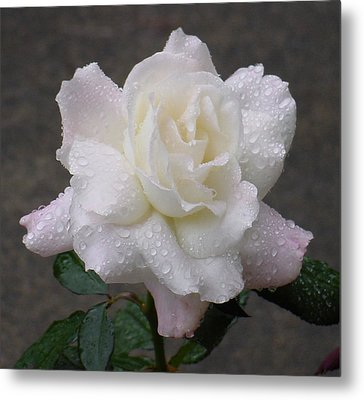 White Rose In Rain - 3 Metal Print by Shirley Heyn
