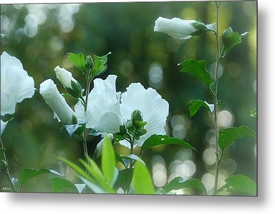White Roses Of Sharon Metal Print by Molly Dean