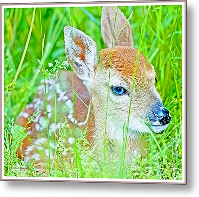 Metal Print featuring the photograph Whitetailed Deer Fawn by A Gurmankin