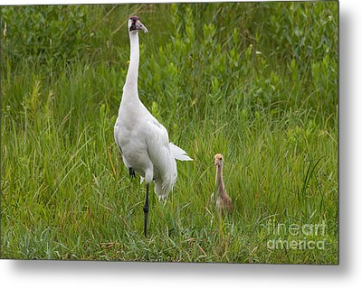 Whooping Crane And Chick Metal Print by Scott Nelson