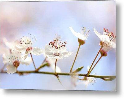 Wild Cherry Blossom Metal Print by Jacky Parker