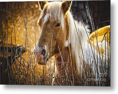 Wild Horse Of Chincoteague Metal Print by Dawn Gari