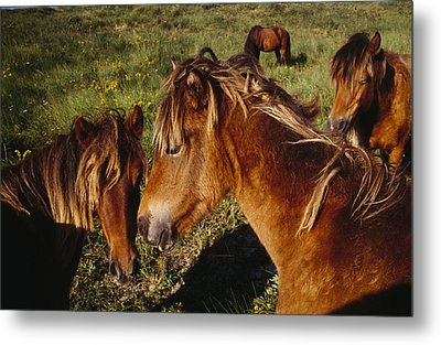 Wild Horses On Sable Island Metal Print by Justin Guariglia
