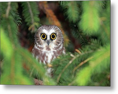 Wild Northern Saw-whet Owl Metal Print by Mlorenzphotography