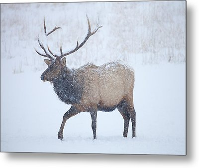 Winter Bull Metal Print by Mike  Dawson