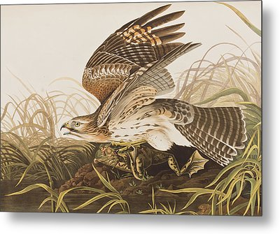 Winter Hawk Metal Print by John James Audubon