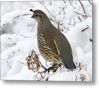 Winter Quail Metal Print by Mike Dawson