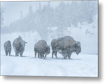 Winter's Burden Metal Print by Sandra Bronstein