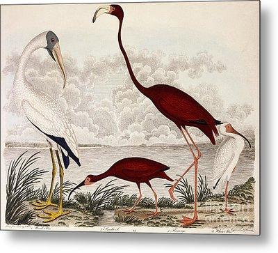 Wood Ibis, Scarlet Flamingo, White Ibis Metal Print by Alexander Wilson