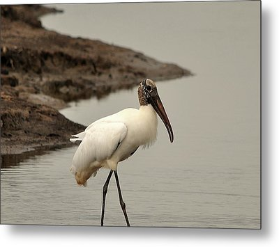 Wood Stork Walking Metal Print by Al Powell Photography USA