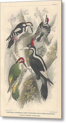 Woodpeckers Metal Print by Oliver Goldsmith