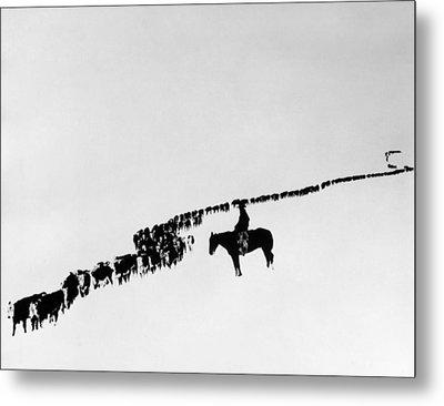 Wyoming: Cattle, C1920 Metal Print by Granger