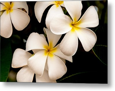 Yellow And White Plumeria Metal Print by Brian Harig