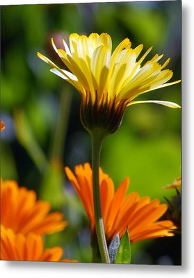 Yellow Daisy Metal Print by Amy Fose