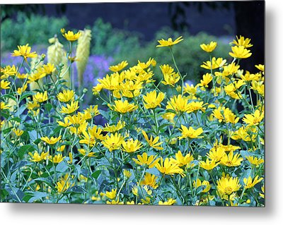 Yellow Everywhere Metal Print by Becky Lodes
