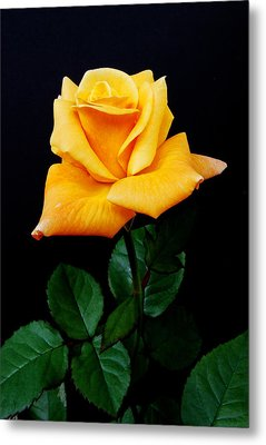 Yellow Rose Metal Print by Michael Peychich