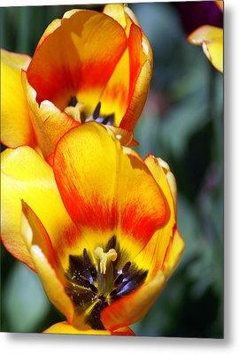 Yellow Tulip Metal Print by Marty Koch