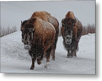 Yellowstone Bison Metal Print by DBushue Photography