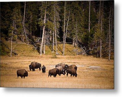 Yellowstone Bison Metal Print by Steve Gadomski