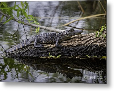 Young Alligator Metal Print by Brian Jannsen