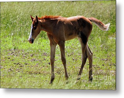 Young Foal Metal Print by Marty Koch
