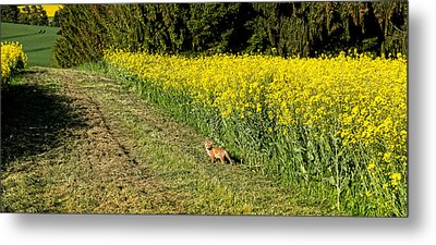 Young Fox In A Rapeseed Field Metal Print by Panoramic Images