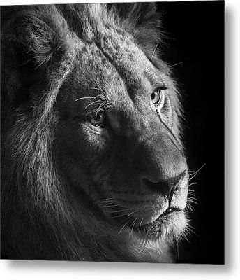 Young Lion In Black And White Metal Print by Lukas Holas