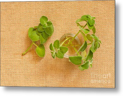 Young Mexican Mint Seedlings Metal Print by Arletta Cwalina