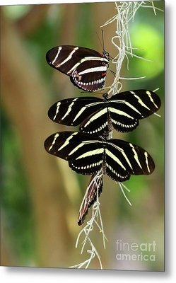 Zebra Butterflies Hanging On Metal Print by Sabrina L Ryan