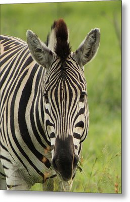 Zebra Looking At You Metal Print by Denise Dean