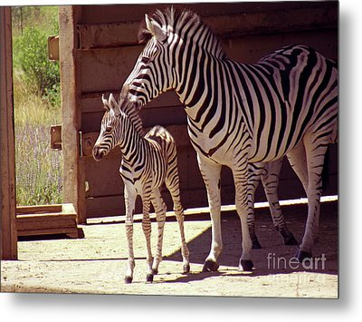 Zebra Mom And Baby Metal Print by Methune Hively