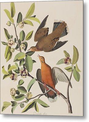 Zenaida Dove Metal Print by John James Audubon