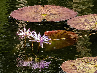 Giant Water Lilies Poster by Zina Stromberg