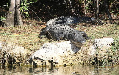 Sunbathing Gator Poster by Christiane Schulze Art And Photography