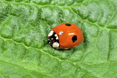 2-spot Ladybird Poster by Nigel Downer