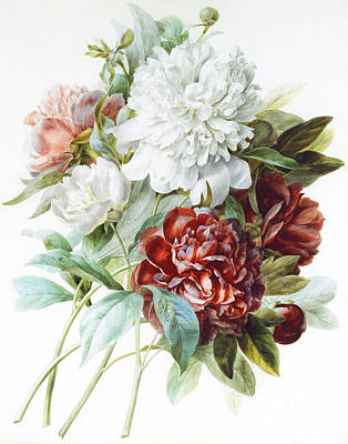 A Bouquet Of Red Pink And White Peonies Poster by Pierre Joseph Redoute